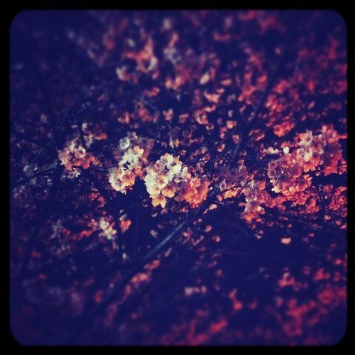blossom, midnight.