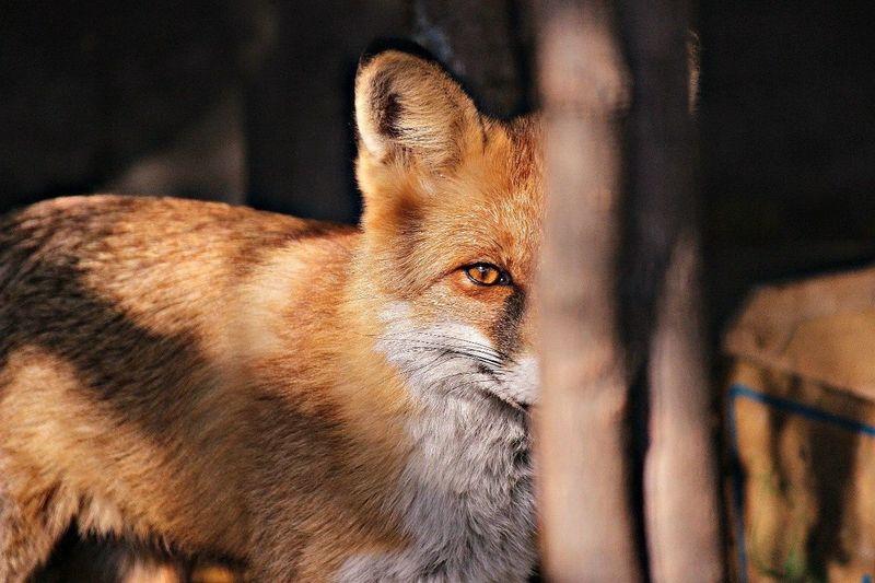 Animal Themes Fox No People Red Cunning Animals Wildlife Predator