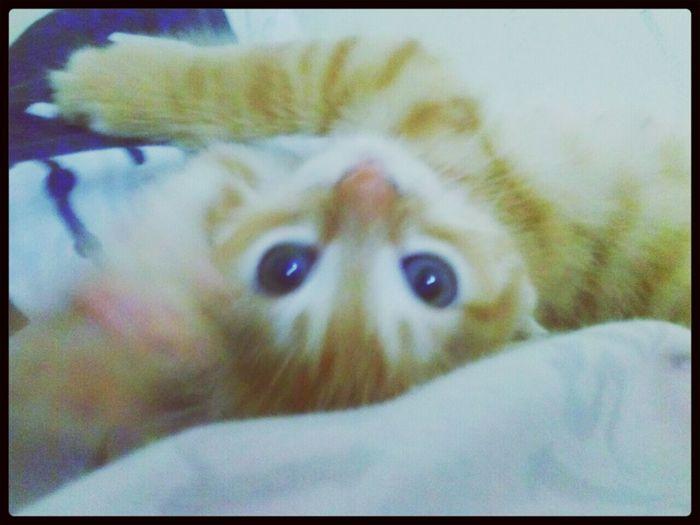 Mycat Cat Animal Yellowandblue kediciğim, sarıvemavi