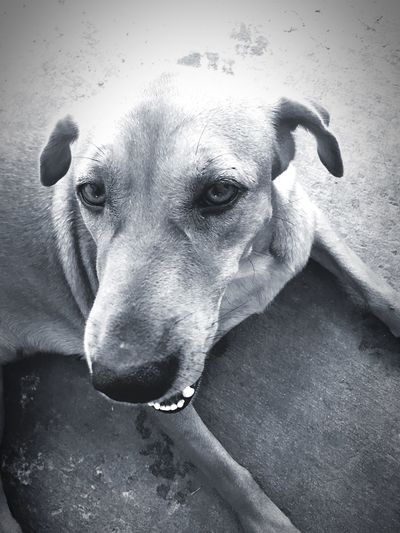 Dog One Animal Domestic Animals Pets Mammal Animal Themes Looking At Camera Close-up Portrait No People Weimaraner Smiling Dog