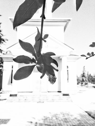 pomegranate and the white church. Mobilephotography Bestshot EyeEm Best Shots Thebest Eyemphotos EyeEm Nature Lover Photography Looking At Camera EyeEm Gallery EyeEmNewHere Eye4photography  EyeEm Relaxing EyeEm Selects Eyemhello Summertime EyeEm Best Shots EyeEmBestPics EyeEm Masterclass EyeEm Best Shots - Nature EyeEm Best Shots - Black + White Nature Crimea Hello World Photooftheday Photographer Photographic Memory Ink Leaf Bat - Animal