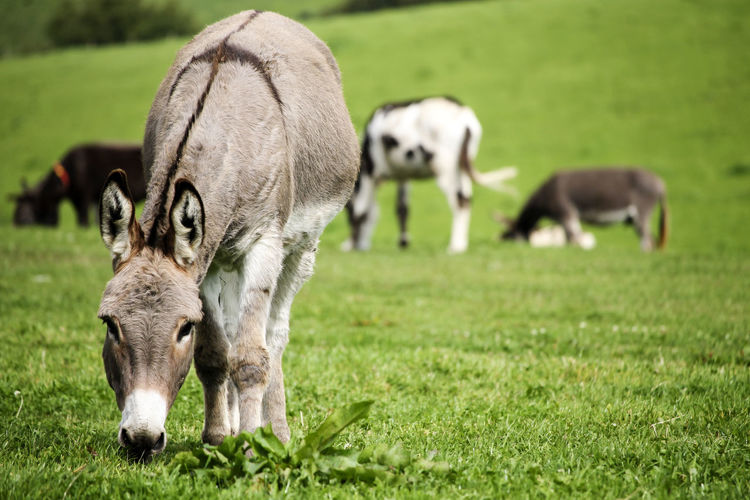 Donkey in a grass field. Donkeys Farm Field Animal Animal Family Animal Themes Day Donkey Field Focus On Foreground Grass Grazing Green Color Group Of Animals Herbivorous Land Livestock Mammal Nature No People Outdoors Plant