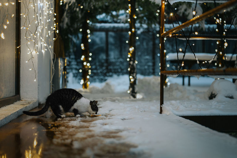 Night Nightphotography Night Lights Lights Illuminated Cat Eating Cat Snow Fairy Lights Lights Christmas Lights Pets Tree Winter Domestic Cat Animal Themes Close-up Big Cat Undomesticated Cat Feline
