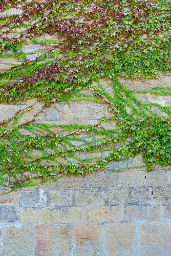 Close-up of ivy on wall