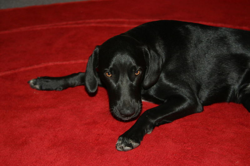 Animal Themes Black Dog Black Labrador Black Shiny Fur Day Dog Domestic Animals Indoors  One Animal Pets Red Red Carpet Relaxation