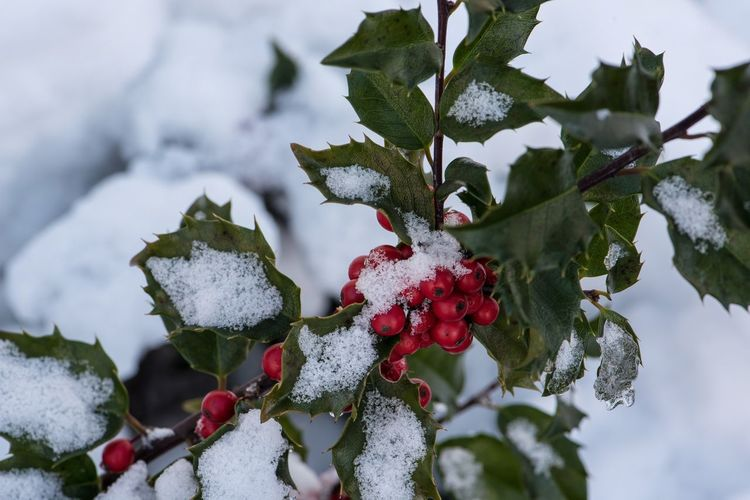 High Angle View Of Rowanberries Growing On Tree During Winter