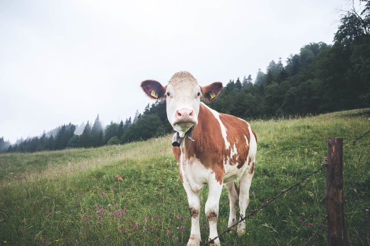 Curious cow looking at camera up close over a fence in Gerold, Bavaria Looking At Camera Animal Animal Themes Close-up Curious Domestic Domestic Animals Fence Field Grass Herbivorous Land Landscape Livestock Looking At Camera Mammal Nature No People One Animal Pets Plant Sky Standing Tree Vertebrate
