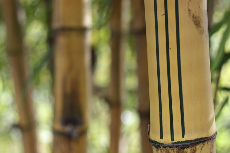 Bamboo - Plant Bamboo Grove Beauty In Nature Close-up Day Focus On Foreground Nature No People Outdoors Tree Yellow Bamboo