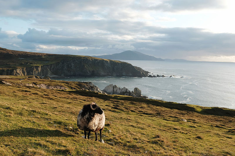 A lonely sheep against a breathtaking backdrop in ireland