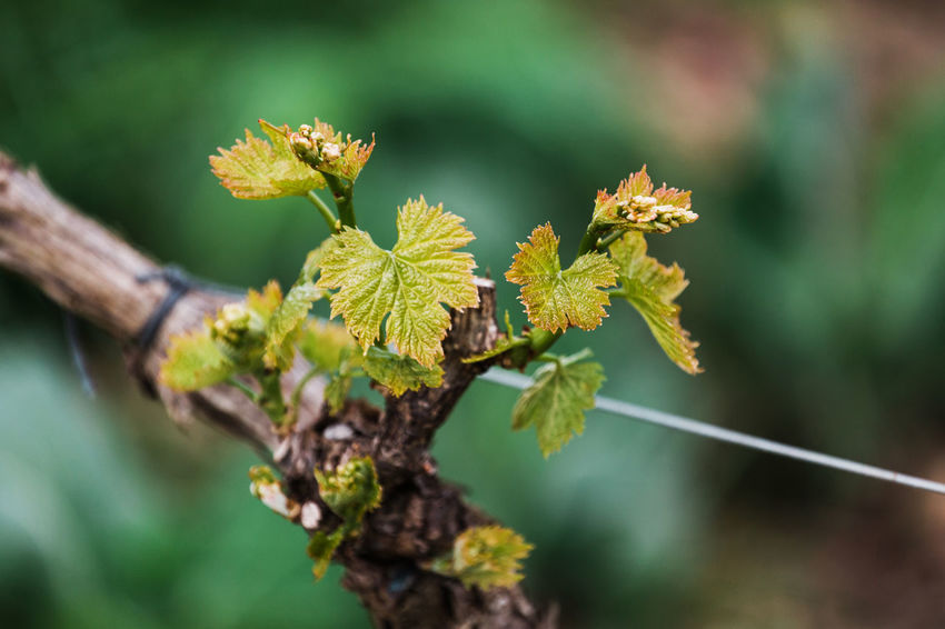 Beauty In Nature Branch Close-up Day Focus On Foreground Fragility Freshness Green Color Growth Leaf Leaves Lichen Nature No People Outdoors Plant Plant Part Selective Focus Tranquility Tree Twig Vine Vineyard Vulnerability