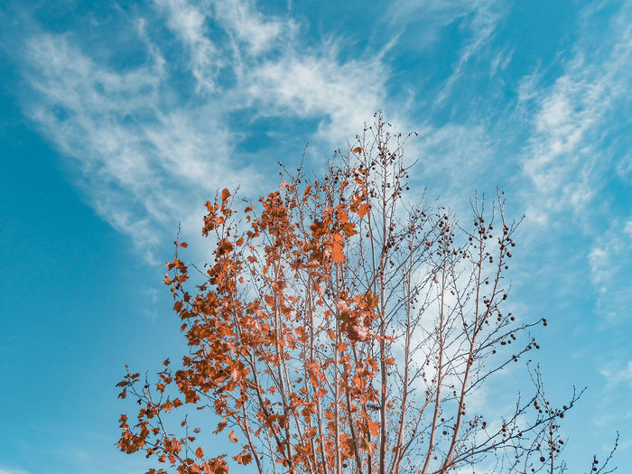 half autumn tree Single Tree Blue Sky Turquoise Colored Coral Colored Orange Color Tree Cirrus Clouds Autumn Autumn colors Autumn Leaves Foliage Half Seeds Seed Pods London Plane Tree Motion Sky Fall Change Autumn Collection Season  Branch Leaves Tree Trunk