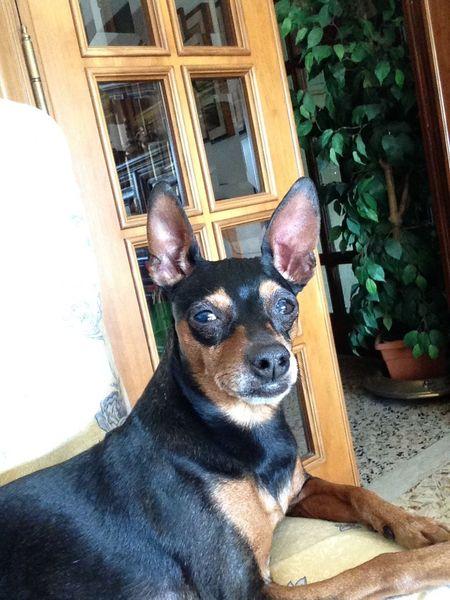 Pinscher Zwergpinscher Dogs I Love My Dog Pinscher Luna 🌺🌺🌺🌺🌺🌺🌺🌺🌺🌺🌺🌺🌺🌺