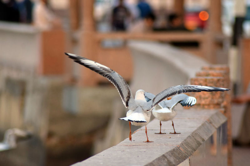 chasing rare chances Animal Themes Bird Birds Birds In The Water Close-up Cornice Birds Corniche Outdoors Seagull Spread Wings Spread Wings Bald