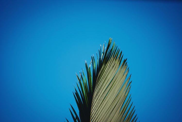Ein palwedel ragt in den blauen himmel