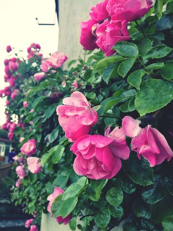Flower Pink Color Beauty In Nature Plant Nature Fragility Growth No People Outdoors Close-up Petal Leaf