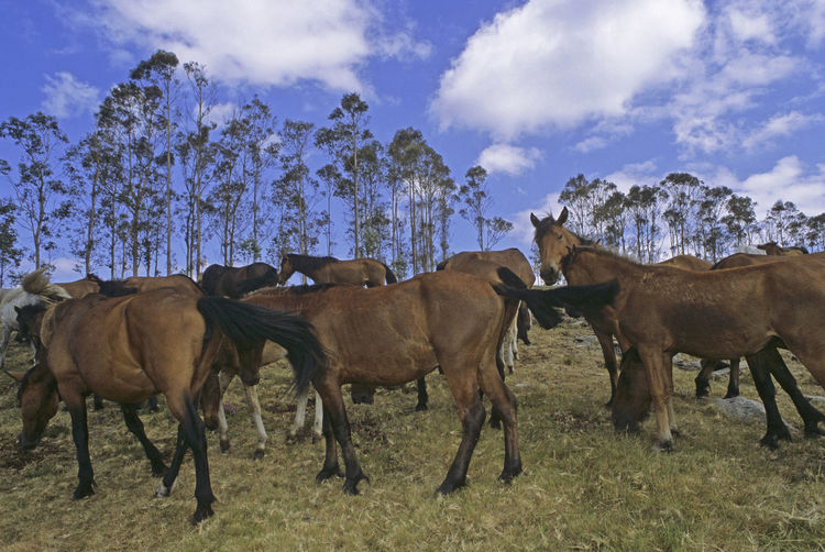 herd of wild horses in the meadow Animals In The Wild Feeding  Field Galicia Horses Pasture SPAIN Sabucedo Animal Themes Cloud - Sky Field Film Photography Grass Group Herd Mammal Meadow Nature No People Outdoors Sky Tree Wild Horses