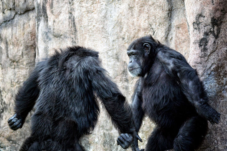 confrontation Animal Animal Themes Animal Wildlife Animals In The Wild Ape Chimpanzee Day Mammal Monkey Nature No People Outdoors Primate Social Issues EyeEmNewHere