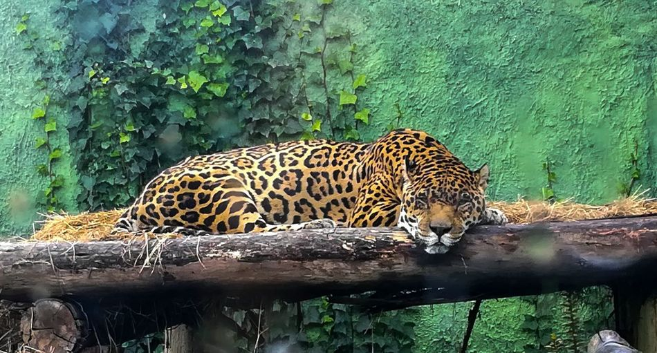 Guepardo... 🐆 Yellow Black And Yellow  #sleep Bored Asome #photography #Nature  #beautiful #EyeEm #blackandyellow Leopard Feline Safari Animals Big Cat Lion - Feline Cheetah Carnivora Captive Animals Animal Markings