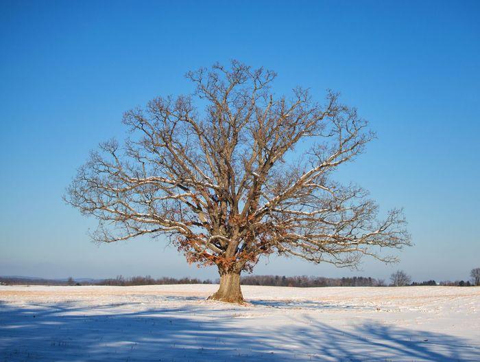 winter oak Snow Cold Temperature Winter Tree Nature Landscape Blue Bare Tree Beauty In Nature Sky Frozen Scenics Frost Remote Branch