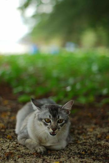 Domestic Cat Pets One Animal Portrait Sitting No People Mammal Outdoors Day Animal Themes Lovely Cat 😻 Islandcats