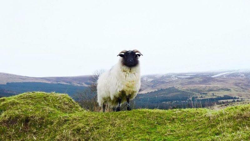 RAM Sheep One Animal Grass Landscape