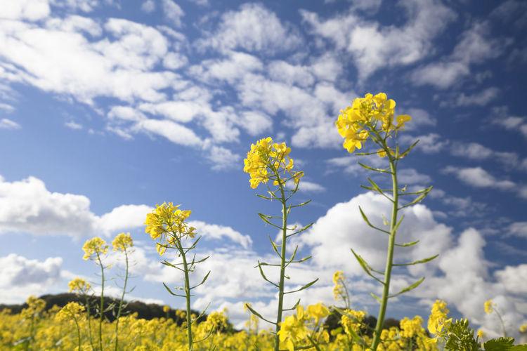 Yellow flowers in field against sky