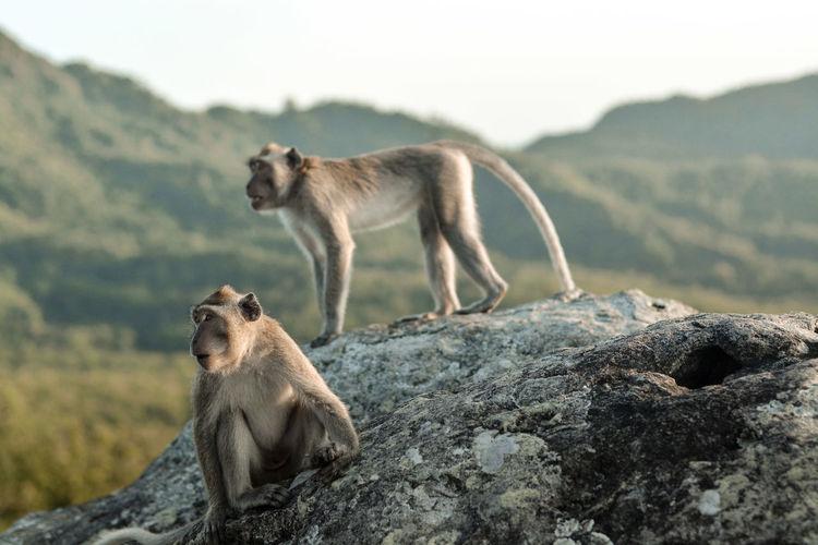Javanese monkey