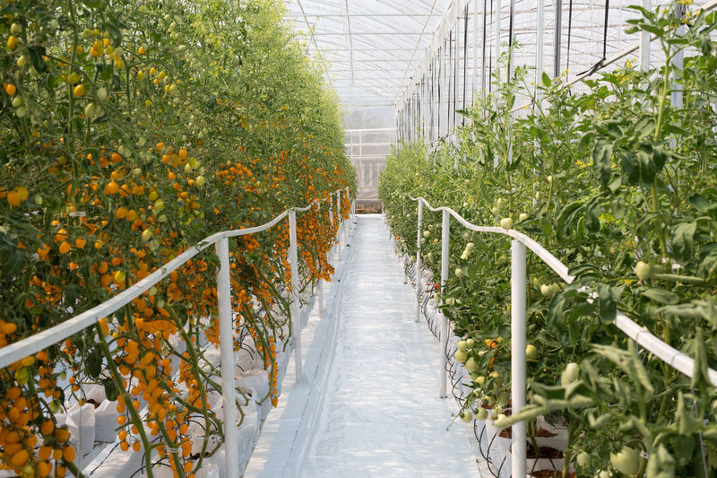 Fruits Growing In Greenhouse