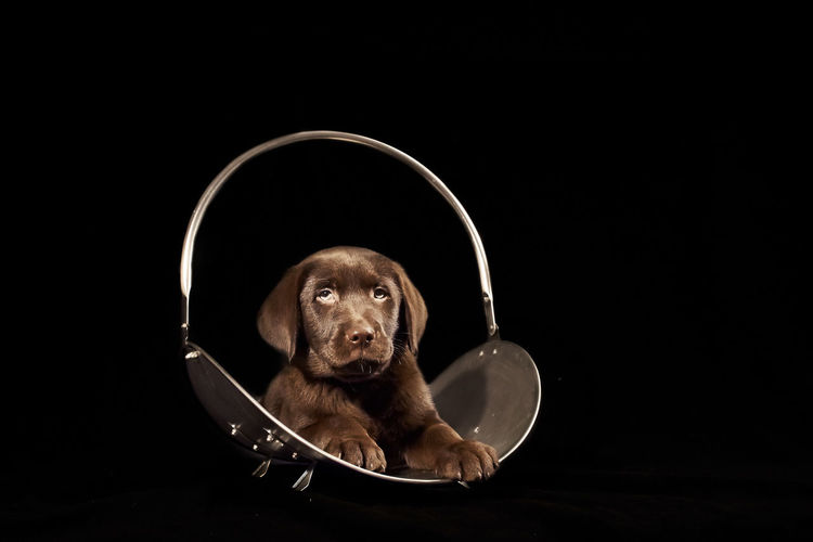 Portrait of chocolate labrador sitting on chair over black background