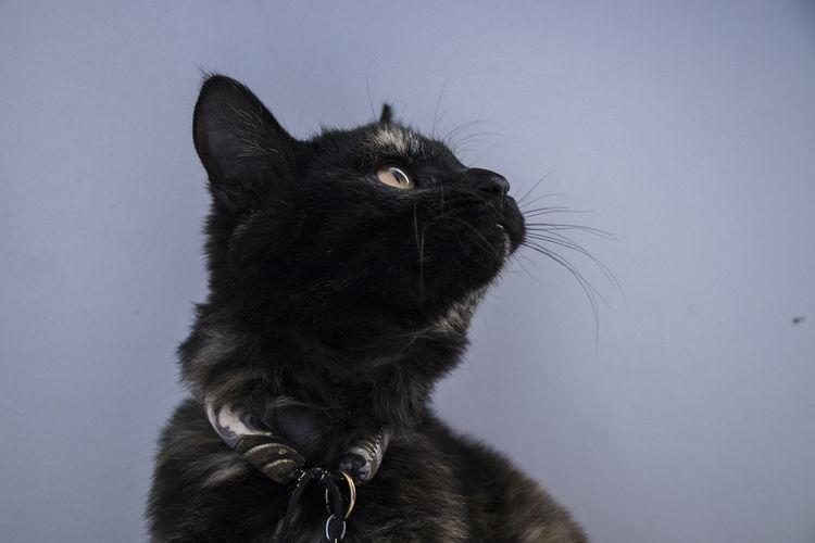 cat Gaze Cat Pets
