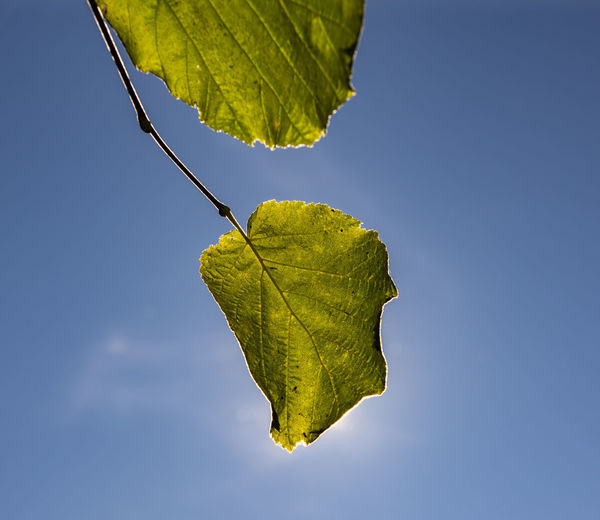Low angle view of leaf against clear blue sky