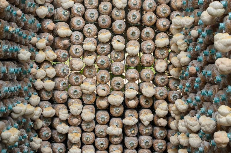 Mushroom cultivation, mushroom growing in farm