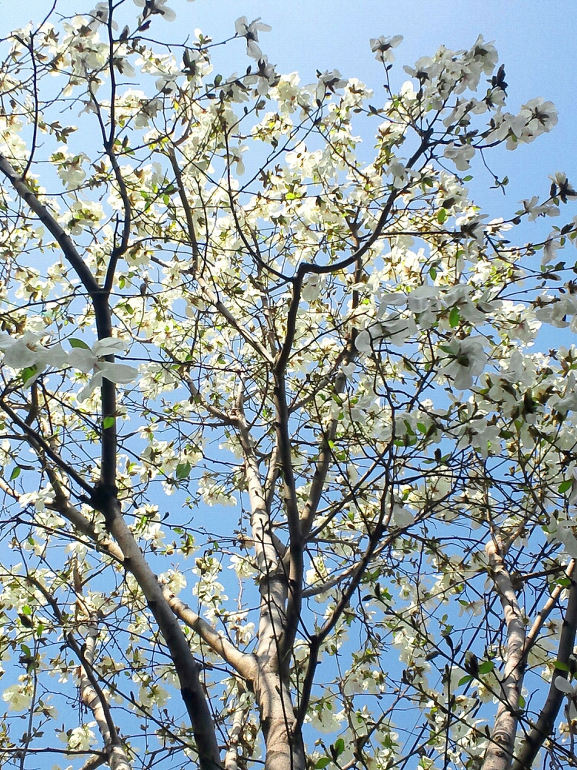 tree, low angle view, branch, growth, clear sky, nature, flower, beauty in nature, sky, freshness, blue, day, outdoors, sunlight, no people, tranquility, leaf, fragility, tree trunk, twig