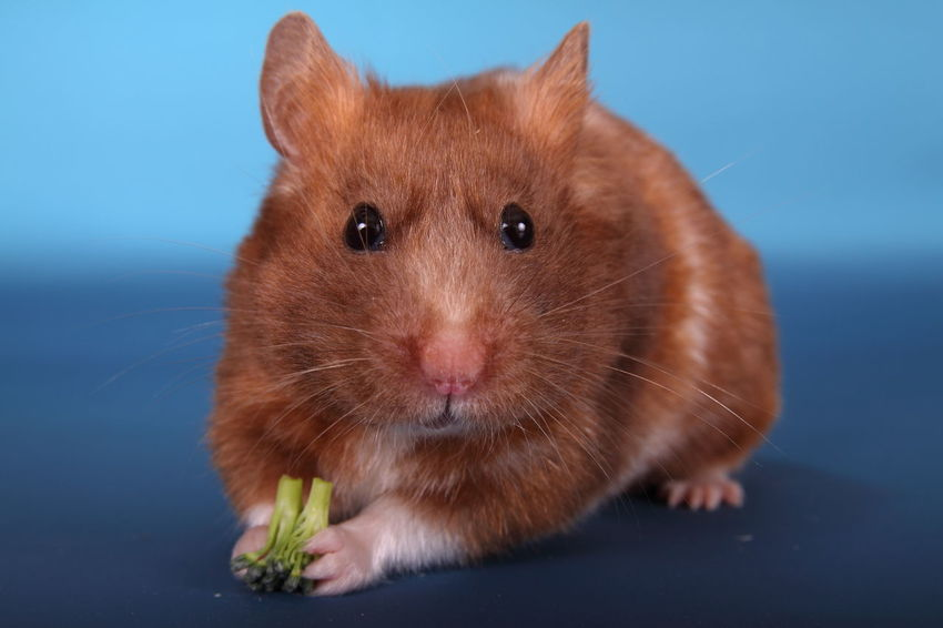 Syrian hamster eating broccoli Adorable Alertness Animal Broccoli Brown Close-up Cute Cute Pets Domestic Animals Feeding  Food Fur Furry Hamster Isolated Looking Mammal One Portrait Pretty Rodant Syrian Hamster
