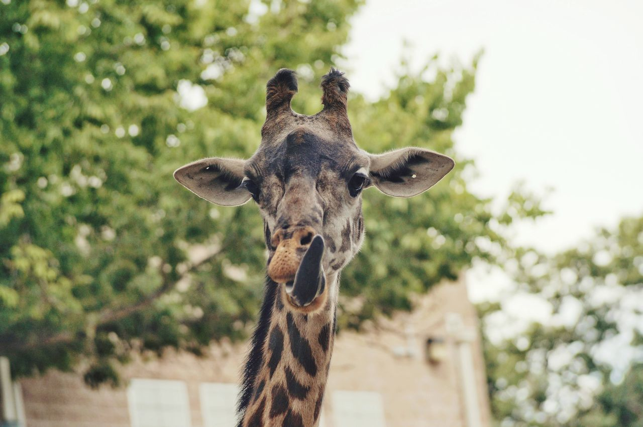 Giraffe Sticking Out Tongue Against Tree In Zoo