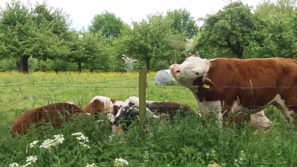 Cows in the geen Animal Themes Beauty In Nature Domestic Cattle Farm Animal Field Grass Green Herbivorous Nature Outdoors Rural Scene Tranquil Scene Tranquility