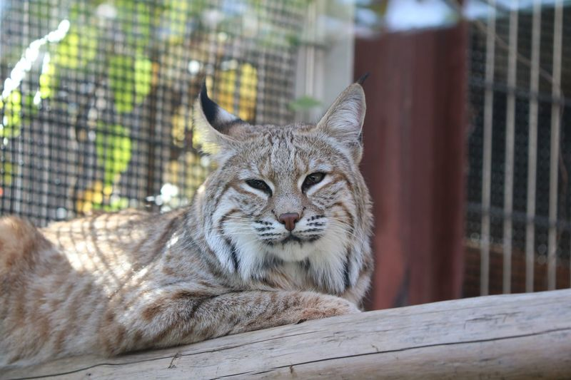 Bobcat EyeEm