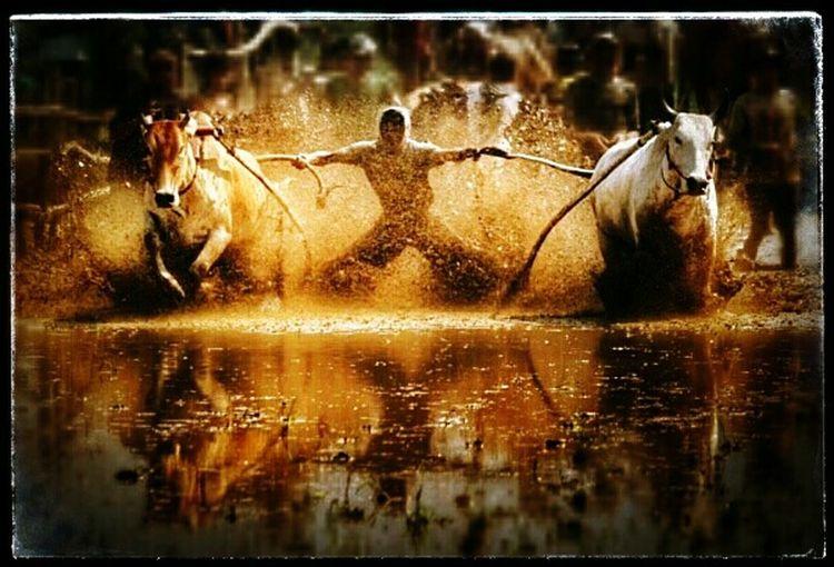 Bull Race, indonesia