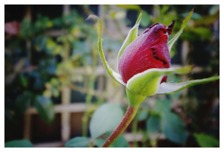 Lonely Rose Bu