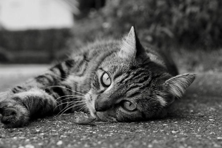 "Unser Kater ""Freddy"" Domestic Cat One Animal No People Looking At Camera Portrait Taking Photos GERMANY🇩🇪DEUTSCHERLAND@ EyeEm Best Shots NiceShot Hello World EyeEm Gallery CreativePhotographer Blackandwhite Photography Cat♡"