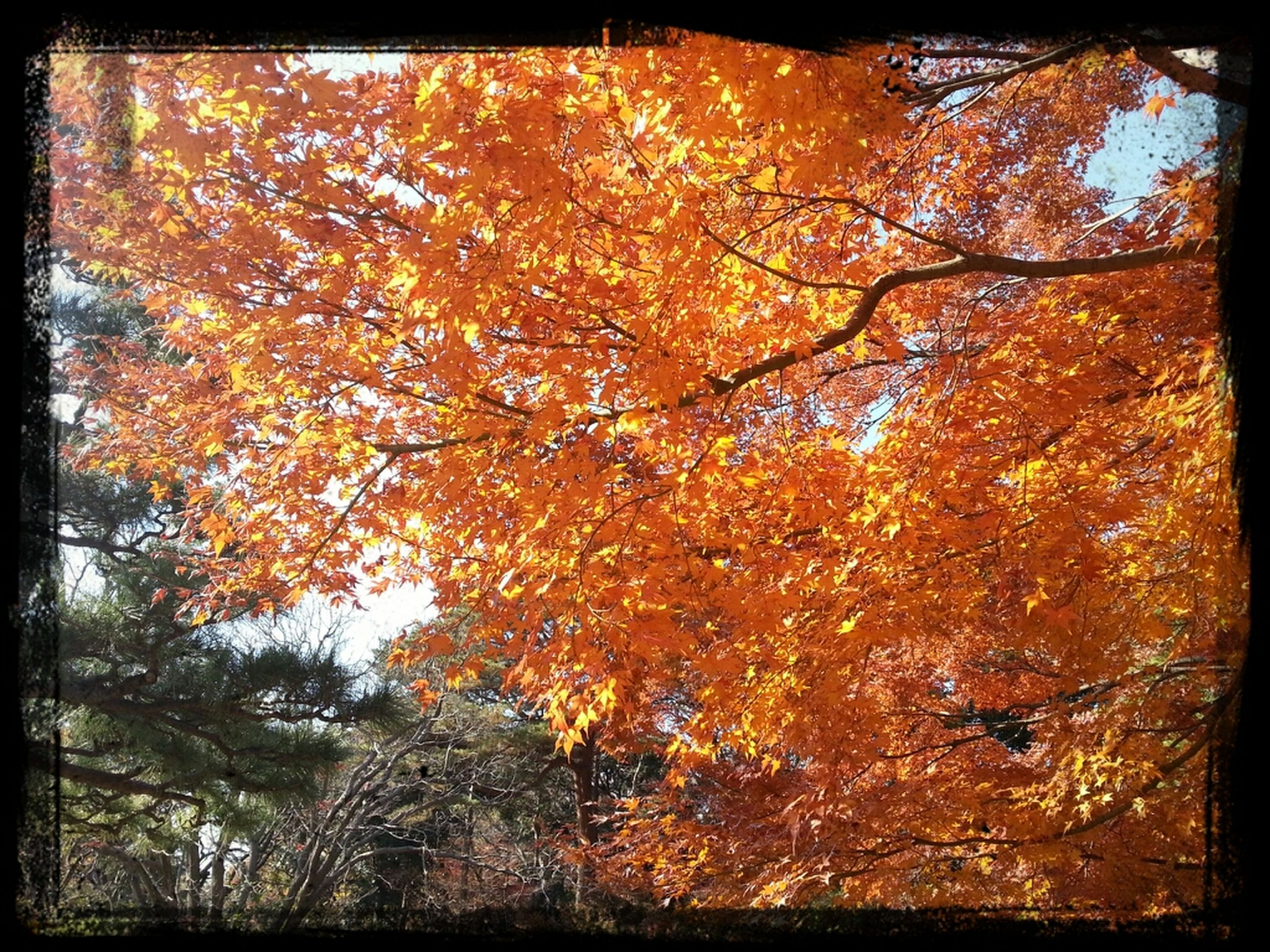 tree, autumn, change, branch, transfer print, season, orange color, auto post production filter, tranquility, growth, beauty in nature, nature, low angle view, scenics, forest, tranquil scene, tree trunk, leaf, outdoors, no people