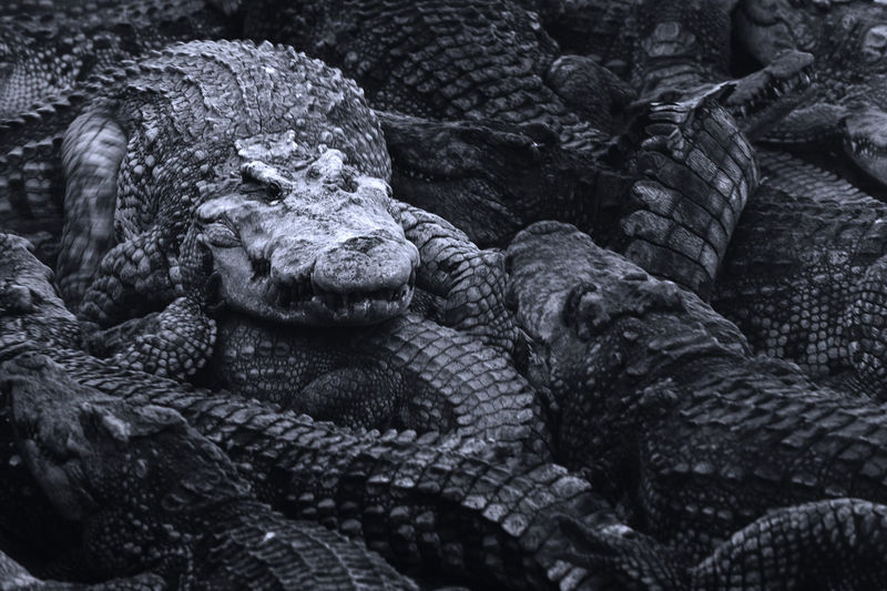 Leader in a herd of crocodile walking on back of group of hungry crocodiles in the wild.