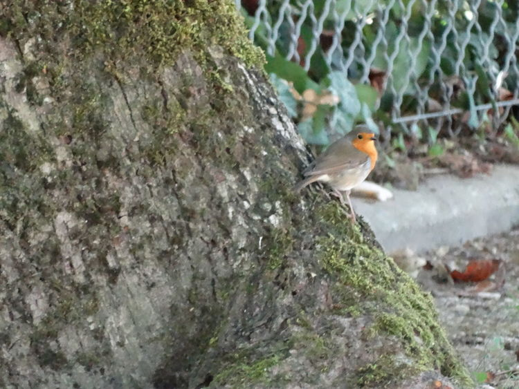 Bird Photography ENGLISH ROBIN Animal Themes Animal Wildlife Animals In The Wild Bird Bird In Nature Close-up Cute Bird Day Focus On Foreground Little Bird Nature No People One Animal Outdoors Perching Rouge Gorge