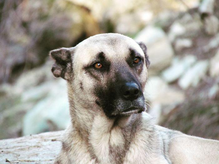bakış Kangal Köpek Köpeklerisevelim Makro Photography Makro Hayvanlar