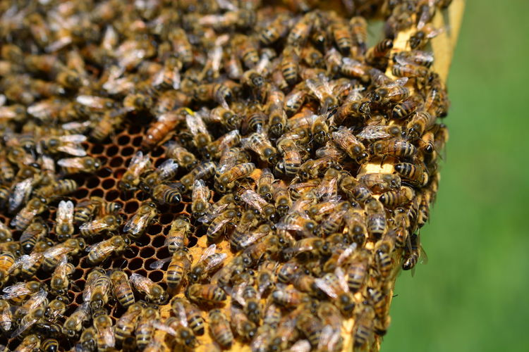 Bee Colony Insect APIculture Beehive Close-up Animal Themes