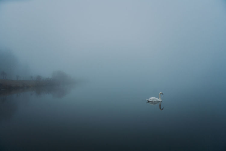 Foggy Swan Lake EyeEmNewHere Animal Themes Animal Wildlife Animals In The Wild Beauty In Nature Bird Day Fog Lake Nature No People One Animal Outdoors Sea Life Sky Spread Wings Swan Swimming UnderSea Water