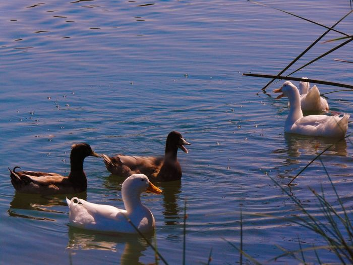 Flocks Animal Animal Themes Animal Wing Animals In The Wild Bird Blue Day Floating In Water Lake Nature Rippled Sea Swimming Tranquility Water Water Bird Water Surface Waterfront Wave Pattern Wildlife Zoology