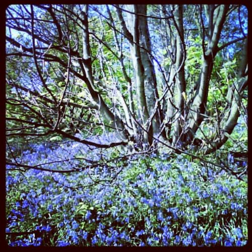 'Bluebells' Ravenscraig Kirkcaldy Fife  Scotland Bluebells flowers Scenery Trees Woods blue Instagrampolis instagram photography