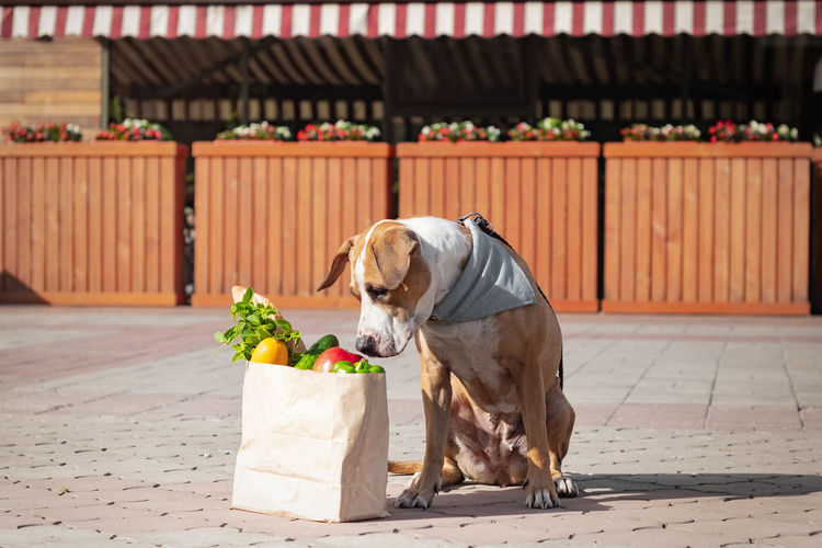 Dog Sitting By Groceries In Paper Bag On Footpath