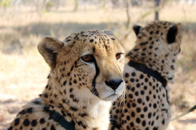 Close-up of cheetah looking away while sitting on field